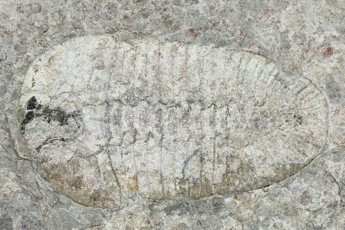 "2.8"" Bathyuriscus Fimbiatus Trilobite With Cheeks - Utah"