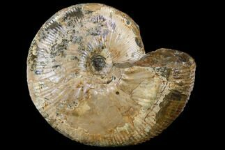 Rhaeboceras halli - Fossils For Sale - #115161