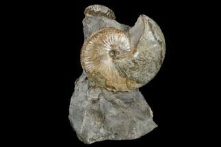 Fossil Ammonite And Whelk Cluster - South Dakota For Sale, #115076