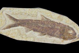 "Buy 3.2"" Detailed Fossil Fish (Knightia) - Wyoming - #115105"