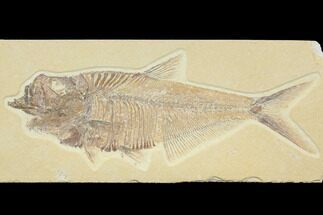 Diplomystus dentatus - Fossils For Sale - #116769