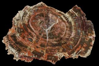"Buy 6.3"" Polished Petrified Wood (Araucaria) Slab - Arizona - #114523"