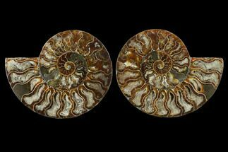 Cleoniceras - Fossils For Sale - #115308