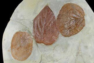 Buy Three Fossil Leaves (Zizyphoides, Beringiaphyllum, Davidia) - Montana - #115210