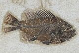 "10.3"" Tall Clock With Cockerellites Fish Fossil - Wyoming - #114311-1"