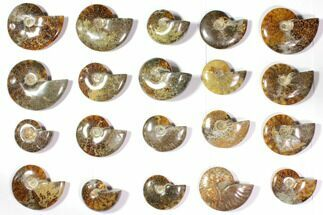 Buy Wholesale Lot: Polished Whole Ammonite Fossils - 20 Pieces - #116584
