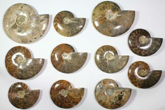 "Buy Wholesale Lot: 6.2 - 9.2"" Polished Whole Ammonite Fossils - 11 Pieces - #116725"