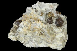 Garnet var. Pyrope & Quartzite - Fossils For Sale - #117585