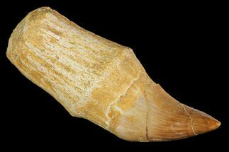 "Buy 2.2"" Fossil Rooted Mosasaur Tooth - Morocco - #117049"