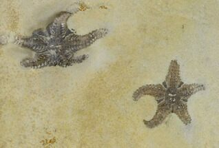 Two Triassic Brittlestar (Aspidura) Fossils - Germany For Sale, #115469