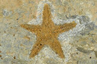 "Buy 1.45"" Ordovician Starfish (Petraster) Fossil - Morocco - #118039"