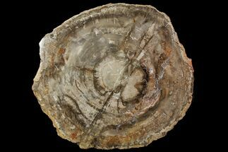 "Buy 19.5"" Petrified Wood (Araucaria) Slab - Madagascar  - #118477"