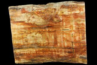 "14.5"" Wide, Thick, Petrified Wood (Araucaria) Slab - Madagascar  For Sale, #118586"