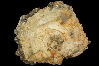 Araucaria sp. - Fossils For Sale - #118578