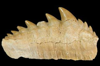 "Buy 1.8"" Fossil Cow Shark (Hexanchus) Tooth - Morocco - #118393"