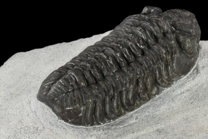 "1.15"" Adrisiops Weugi Trilobite - Recently Described Phacopid"
