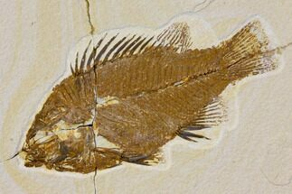 "Buy Bargain, 6.7"" Fossil Fish (Priscacara) - Green River Formation - #119443"