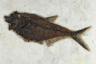 "11.3"" Fossil Fish (Diplomystus) - 18 Inch Layer, Green River Formation For Sale, #119465"