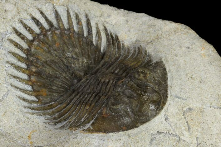 "1.35"" Long-Spined Thysanopeltis Trilobite - Bigaa, Morocco"
