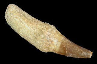 "Buy 2.3"" Fossil Rooted Mosasaur (Eremiasaurus) Tooth - Morocco - #117001"