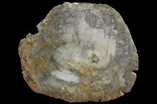"7.4"" Petrified Wood (Araucaria) Slab - Madagascar  For Sale, #118808"