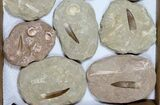Wholesale Lot: Real Fossil Plesiosaur Teeth In Matrix - 12 Pieces - #119622-2