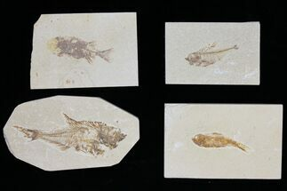 Wholesale Lot: Green River Fossil Fish - 62 Pieces For Sale, #119738