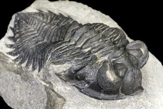 "Buy Bargain, 2.25"" Coltraneia Trilobite Fossil - Huge Faceted Eyes - #119851"