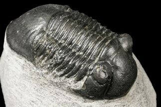 "Bargain, 1.55"" Paralejurus Trilobite Fossil - Ofaten, Morocco For Sale, #119852"