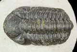 "Bargain, 1.9"" Austerops Trilobite - Visible Eye Facets - #120028-1"