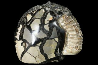 "Buy 5.1"" Fossil Ammonite In Septarian Nodule - Madagascar - #113668"