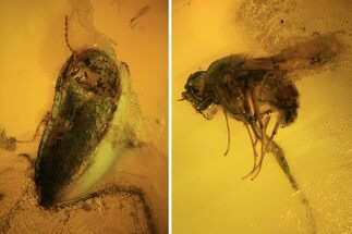 Fossil Fly (Diptera) And Beetle (Coleoptera) In Baltic Amber For Sale, #120587