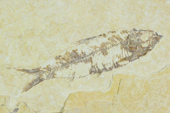 "Bargain, 3.1"" Detailed Fossil Fish (Knightia) - Wyoming"