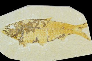 "Bargain, 4"" Fossil Fish (Knightia) - Wyoming For Sale, #120632"
