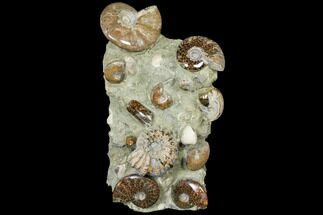 "12.1"" Tall, Composite Ammonite Fossil Sculpture For Sale, #120704"