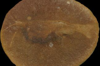 Peachocaris strongi - Fossils For Sale - #120921