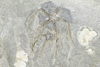 Buy Two Ordovician Brittle Stars (Ophiura) - Morocco - #118696