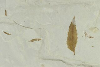 Buy Fossil Leaf Plate (Salix and Mimosites) - Green River Formation, Utah - #118006