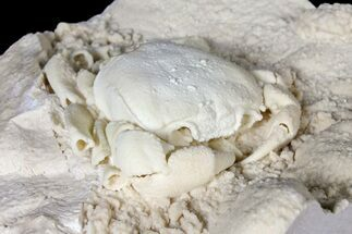 "3.1"" Fossil Crab (Potamon) Preserved in Travertine - Turkey For Sale, #121382"