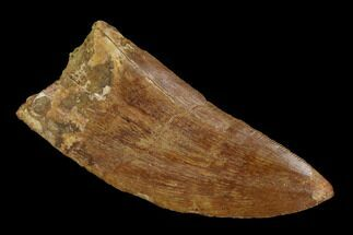 Carcharodontosaurus - Fossils For Sale - #121446