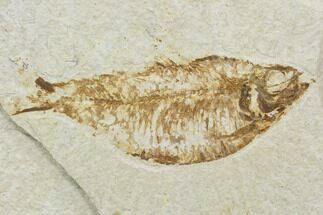 "Buy Bargain, 4.5"" Fossil Fish (Knightia) - Wyoming - #120997"