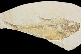 "Buy Bargain, 8"" Fossil Fish (Diplomystus) - Green River Formation - #121003"