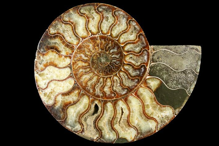 "7.55"" Cut Ammonite Fossil (Half) - Agatized"