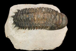 "Bargain, 2.9"" Crotalocephalina Trilobite - Atchana, Morocco For Sale, #119894"