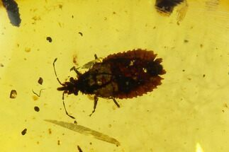 2.6mm Fossil Flat Bug (Aradidae) In Amber - Myanmar For Sale, #122069