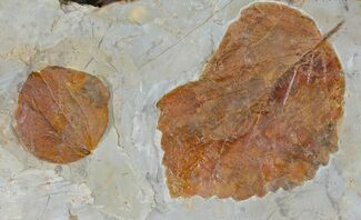 Two Fossil Leaves ( Zizyphoides And Davidia) - Montana For Sale, #120833