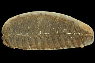 "3.6"" Fossil Fern (Oligocarpia) Pos/Neg - Illinois For Sale, #121214"