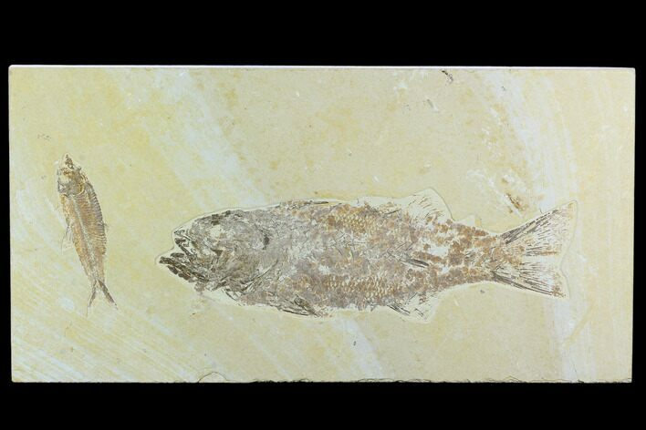 "10"" Mioplosus With Knightia Fossil Fish Plate - Green River Formation"
