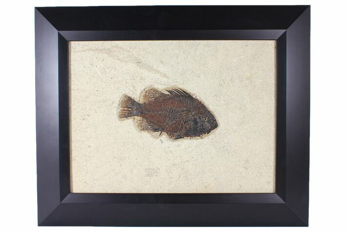 "6.4"" Framed Fossil Fish (Priscacara) - Wyoming"