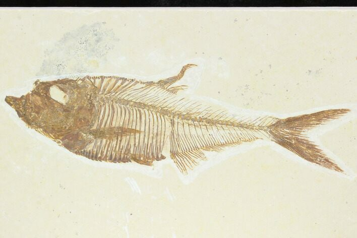 "4.15"" Fossil Fish (Diplomystus) - Green River Formation"